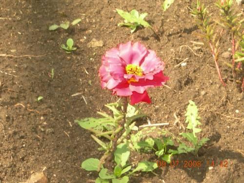 Платонов неизвестный цветок картинки 1